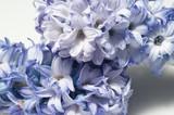 hyacinth on blue background