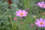 Fototapeta Kosmos - Sunny day. Homemade plant. Cosmos, a genus of annual and perennial herbaceous plants of the family Asteraceae. Flower bed, beautiful gentle plants. Pink flowers