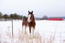 Tall Handsome Chestnut Clydesdale Horse With Sabino Markings Standing In Snowy Field Looking Over Wire Fence With Friendly Expression, Quebec City, Quebec, Canada