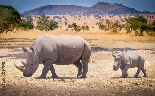Fototapeta rhino baby and rhino mama roam the savannas in africa