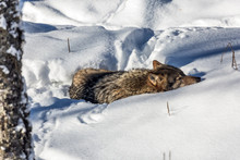 Gray Polar Wolf Resting In The Snow