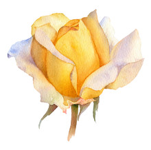Picturesque Yellow Rose Flower In Bud Hand Drawn In Watercolor Isolated On A White Background. Botanical Illustration. Watercolor Floral Illustration.