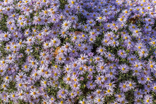 Carpet Of Autumn Purple Flowers Aster Dumosus. Blooming Carpet Of Flowers Aster Dumosus In Autumn. Cushionaster, Aster Dumosus Is A Garden Groundcover Plant.