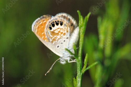 510 Western Pygmy Blue