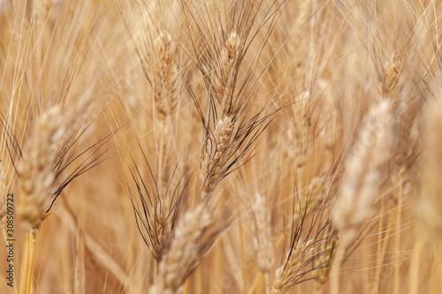 provenza, francia, grano, campo di grano Tapéta, Fotótapéta