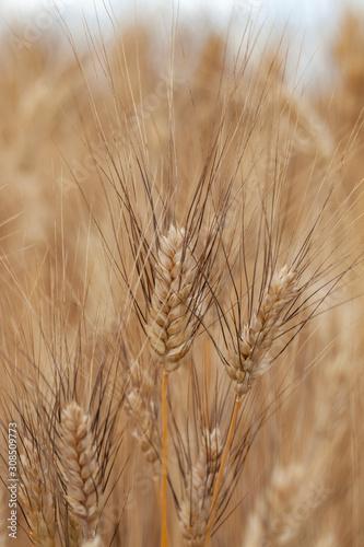 Fotografie, Obraz provenza, francia, grano, campo di grano