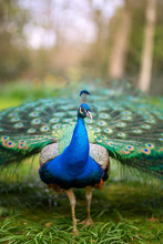 Lovely Colourful Peacock Registered In Holland Park