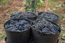 Harvested Grapes In Harvest Ba...