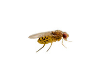 Drosophila Fruit Fly Diptera I...