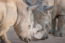 Battle Between Two White Rhino Fighting In The Dust.