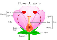 Anatomy Flower. Plant Reproductive System Diagram, Annotated. Flowering Plants Reproduction System. Pink, Red Flowers Parts, Components Structure. White  Background. Drawing Illustration. Vector