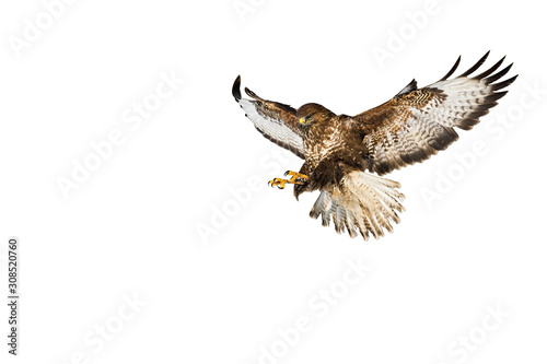 Photo Wild common buzzard, buteo buteo, in flight catching prey with claws isolated on white background