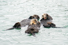 Southern Sea Otter Mothers And Babies Floating In Ocean
