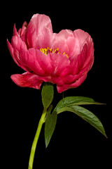 Obraz na Szkle Kwiaty Red peony bud