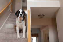 Large Saint Bernard Dog Sitting On Stairs Looking At Home