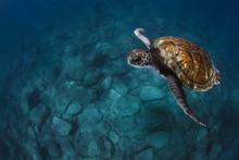Close-up Of Sea Turtles Swimmi...