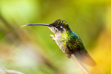 Magnificent Hummingbird (Eugenes Fulgens) (Refulgent Hummingbird), San Gerardo De Dota