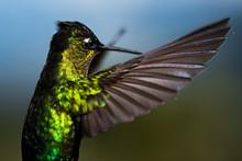 Fiery-throated Hummingbird (Pa...
