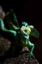Common Basilisk (Jesus Christ Lizard) (Basiliscus Basiliscus), Tortuguero National Park, Limon Province
