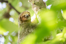 Brown-throated Three-toed Sloth (Bradypus Variegatus), Tortuguero National Park, Limon Province