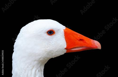 Fotografia Ganso blanco aislado, oca, ojo azul, fondo negro. Ave.