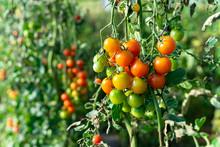 Heirloom Ripe Colorful Organic...