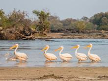 Adult Great White Pelicans (Pelecanus Onocrotalus), On The Zambezi River, Mosi-oa-Tunya National Park, Zambia