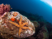 Mediterranean Sea Star (Martha...