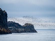 Flocks Of Seabirds Take Flight Along The Shores Of Kiska Island, Aleutians, Alaska