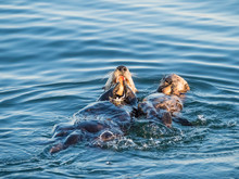 A Mother And Pup Sea Otter (Enhydra Lutris), In Monterey Bay National Marine Sanctuary, California
