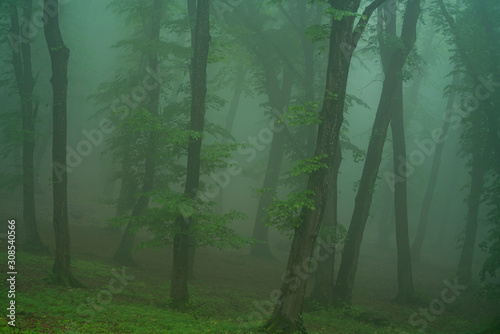 A foggy day in Hoia Baciu Forest, the most famous haunted forest in the world
