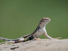 Adult Zebra-tailed Lizard (Callisaurus Draconoides) Basking In The Sun, San Jose Del Cabo, Baja California Sur, Mexico
