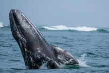 California Gray Whale Calf (Eschrichtius Robustus), Breaching In San Ignacio Lagoon, Baja California Sur, Mexico