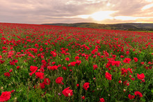 Red Poppies, Backlit Field At ...