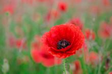 Red Poppy, Beautiful Wild Flow...