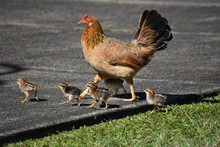 Hen Crossing The Road With Chi...