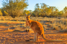 Side View Of Red Adult Kangaro...