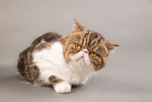 Close-up Of Exotic Shorthair C...