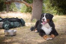 Bernese Mountain Dog Sitting B...
