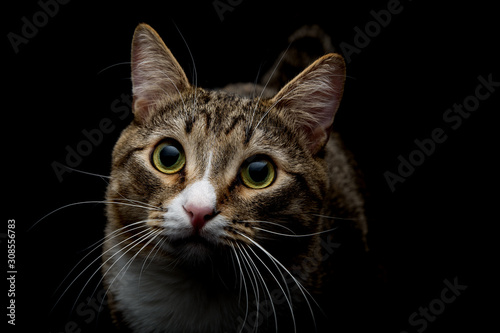 Obraz Studio shot of an adorable gray and brown tabby cat sitting on black background top close up isolated - fototapety do salonu