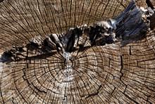 Transversely Cut Tree Trunk Rings