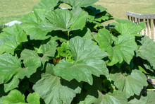 A Close Up View Of Huge Zucchini Leaves In A Southwest Missouri Backyard Garden Next To A Stairway Rail. Bokeh Effect.