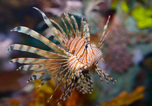 Colorful Pectoral Fins Of Pter...