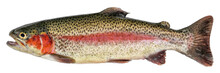 Rainbow Trout Fish Isolated On White Background. Side View