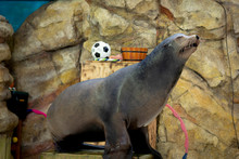 Sea Lion Of Sea Lion Show Full...