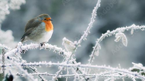 Photo  Christmas robin