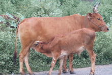 Brown Cow With Horns Feeding Calf
