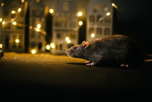 Symbol Of Coming 2020. Close-up Of Cute Domestic Rat Sitting In Festively Decorated Dark Room With Bright Garlands.