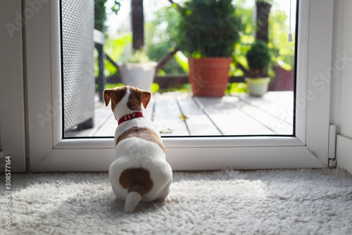 Obraz Jack russel terrier puppy sitting near door on white carped on the floor. Small perky dog. Animal pets concept - fototapety do salonu
