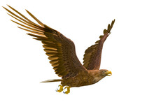 Deepsea Eagle Hunting On White Background With